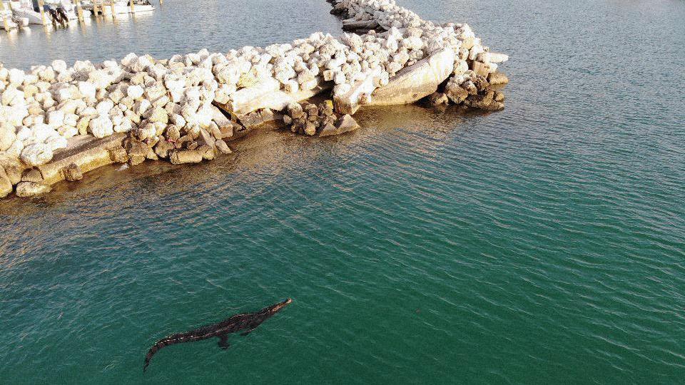 Crocodile at KBYC