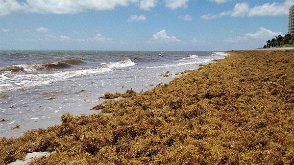 Key Biscayne Seaweed