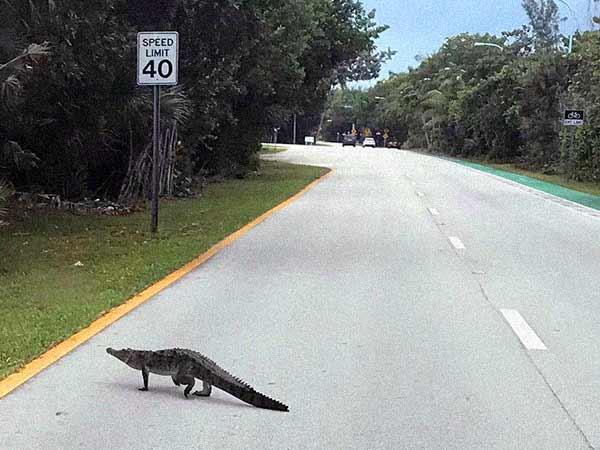 Crocodile in Key Biscayne crossing the road