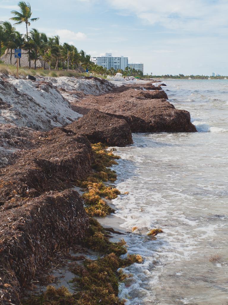 Key Biscayne beach seaweed 2012