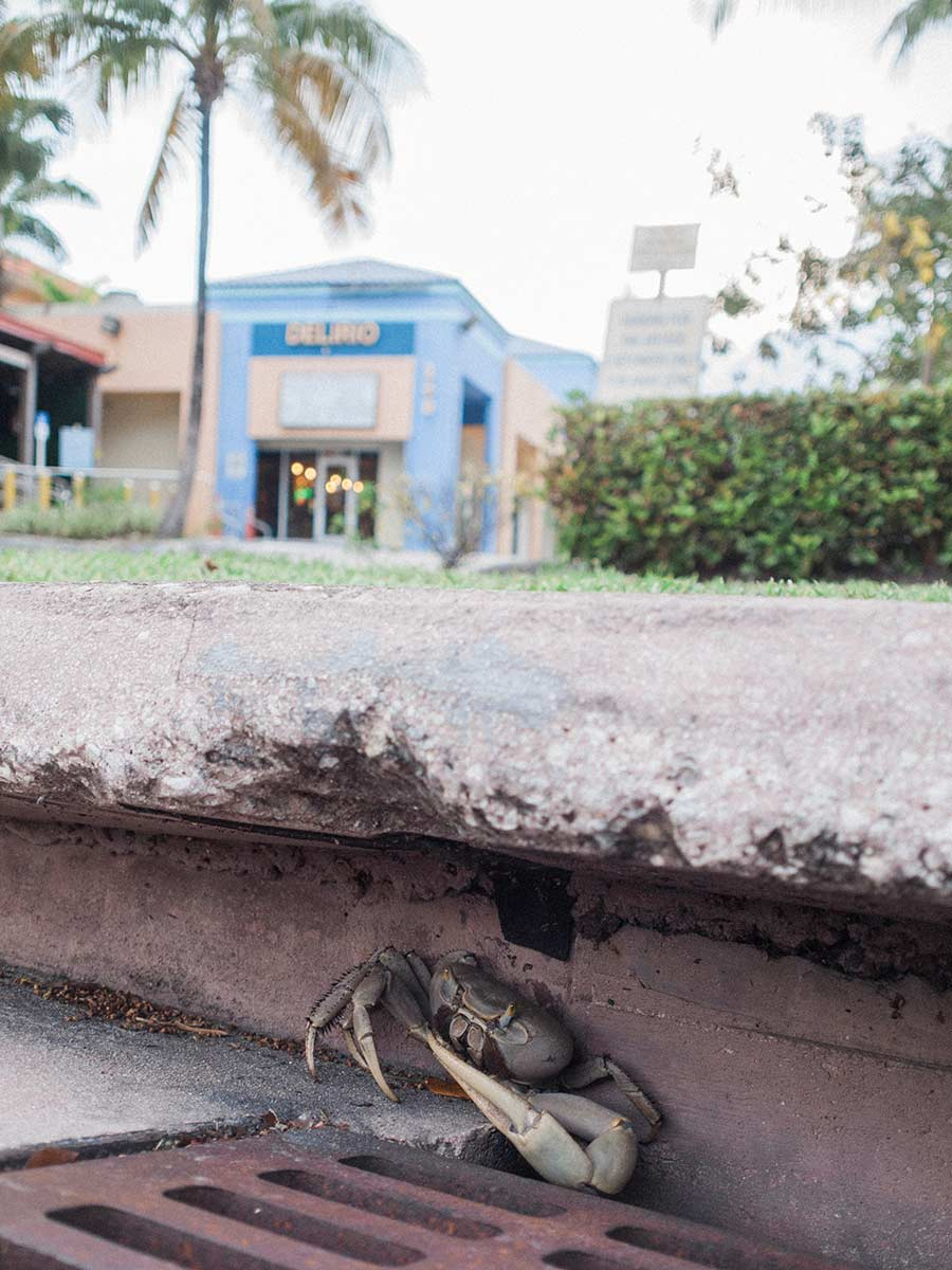 land crab in a Key Biscayne sewer May 2020