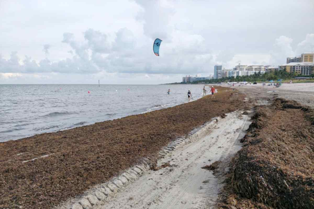 Key Biscayne seaweed beach june 2021