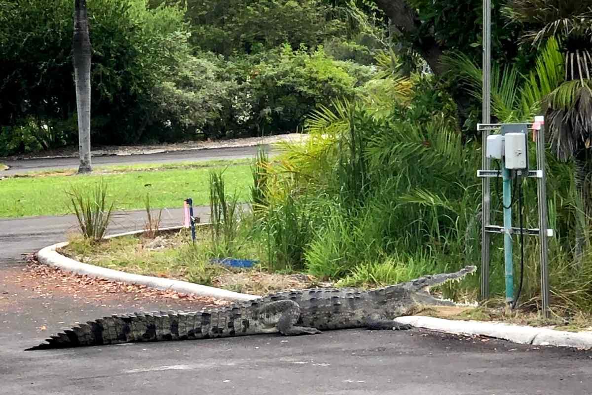 Croc at Crandon Park